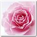 ★☆薔薇のフレディス☆★