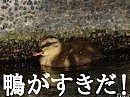 鴨がすきだ!