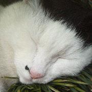ハナクソ猫