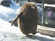 キングペンギンヒナの産毛が好き