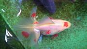 集まれ金魚大好き!飼育大好き!
