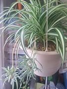 オリヅルラン(観葉植物)