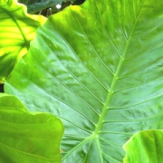 内地で育てる「沖縄の植物」