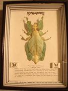 コノハムシ-Phillium giganteum-