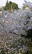 上田公園と陸班と桜