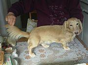 我が家の自慢犬ダックスフンド!