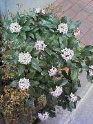 沈丁花 -Daphne odora-