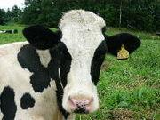 牛について考える