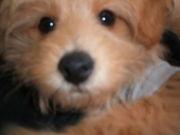 """""""トイプー×ポメ""""のミックス犬"""
