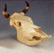 「牛の首」