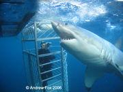 ホオジロサメ ケージダイブ