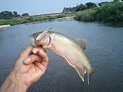 清流のハス&小鮎釣り