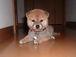 柴犬同盟 in Japan