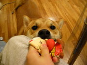 柴犬愛好家