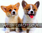 WELSH CORGI��LOVE