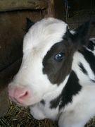 あなたも牛を飼いませんか?