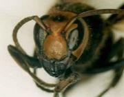 世界でスズメバチが一番嫌い!