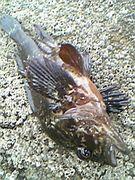 根魚保護委員会