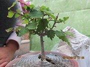 ミニ盆栽始めました