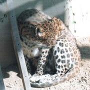 豹〜Panthera pardus〜