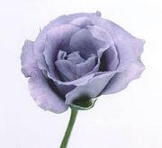 「チェンマイの蒼い薔薇」