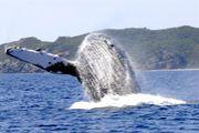 ♪ザトウクジラが大好き♪