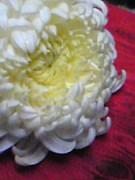 菊花*キクの花*