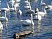 Swan Lake@こっとん
