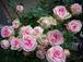 Rose Rose Roses♪