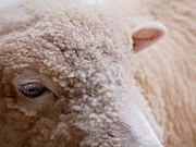 未年の牡羊座