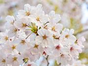 *** cherry blossom 〜桜〜 ***