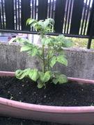お庭で家庭菜園