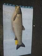 鯉、四大家魚