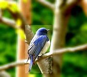蒼い鳥が見つからない