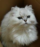 -chinchilla silver-
