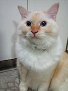 トースト色の猫