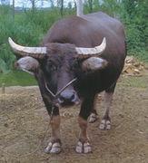 水牛が好き