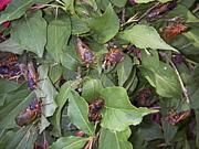 周期ゼミ(periodical cicada)