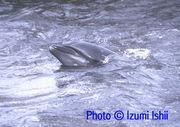 イルカ・クジラの輪