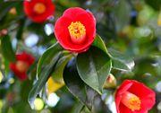 茶花 つなぐ花と、なげ入れ花