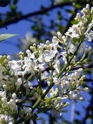 Plastic Tree 「lilac」
