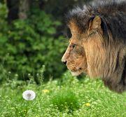 獅子心・ライオンハートを持つ人