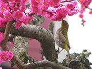 時鳥正月は梅の花咲けり