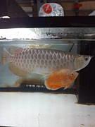 東海・近畿熱帯魚古代魚会