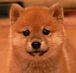 柴犬 【仔犬限定】 写真館