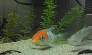 錦鯉を水槽で飼育しよう