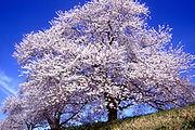 桜『理由になってない。』