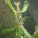 日本産淡水エビ