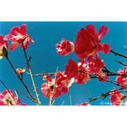 camellia  ★横浜ガールズ★