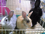 ミニウサギ LOVE LOVE